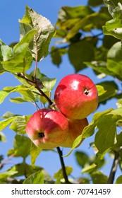 Ripe apples against blue sky in the garden.