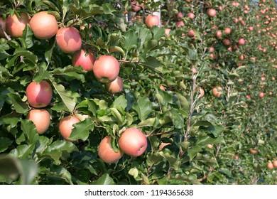 Ripe apples in an apple plantation