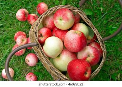 Ripe apples in the basket