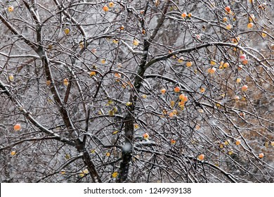 ripe apples are hanging on a branch covered with the first snow