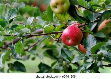 Ripe apples hanging on the branch in horizontal