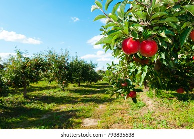 ripe apples hanging on branch