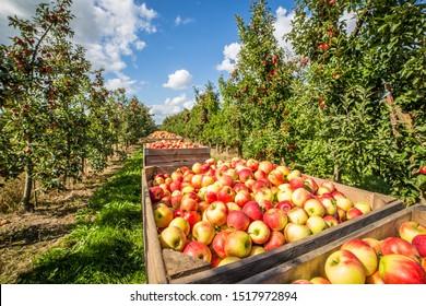 Reife Äpfel auf einem Apfelgarten in Norddeutschland