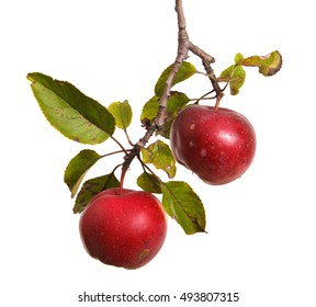 ripe apples on a branch isolated on white background