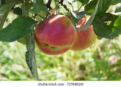 Ripe apples on the tree in the kailyard