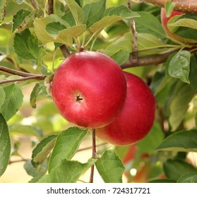 ripe apples in an orchard ready for harvesting,image of a