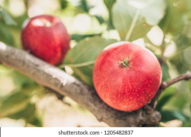 Ripe apples in the sun on a branch in the garden