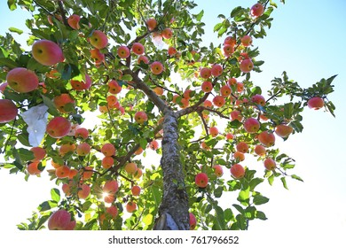 The ripe apples are in the tree