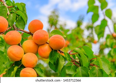 Ripe apricot fruits on branch with leaves in apricot garden and blue sky , copy space