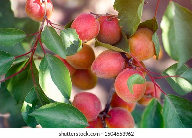 Ripe apricots grows on the tree. Close-up.