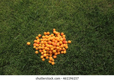 Ripe apricots heap on the mown lawn in the summer garden