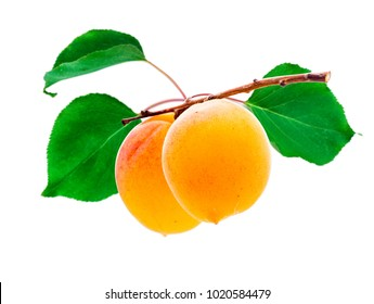Ripe apricots on branch with leaves. Isolated on white.