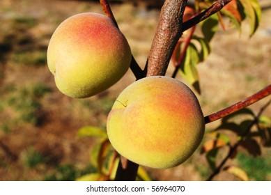 Ripe arctic sweet white peaches (Prunus persica) on a tree