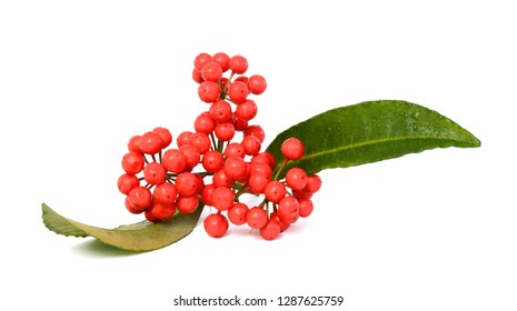 Ripe Ardisia crenata fruit isolated on white background