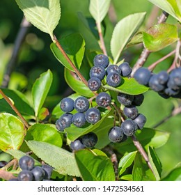 Ripe aronia berries, Aronia melanocarpa, on shrub