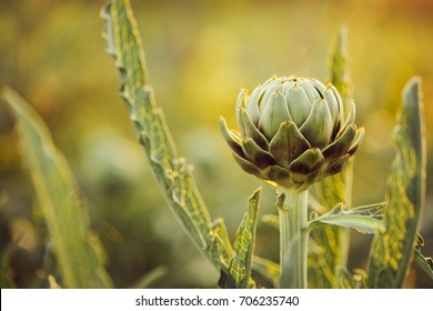 Ripe artichoke in the garden. Selective focus. Toned image.