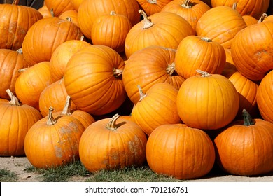 ripe autumn pumpkins on the farm as pleasing fall still life. Rural countryside scene