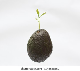 Ripe avocado and out of focus young avocado stem behind it isolated on white background