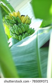 Ripe bananas on banana tree, bananas tree with bananas, banana leaf with bananas background,