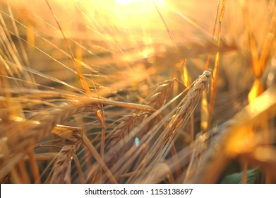Ripe barley, barley field in the background of sunset, golden barley, ears of barley