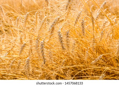Ripe barley (Hordeum vulgare) in the field at harvest time