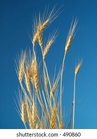 ripe barley isolated against clear blue sky