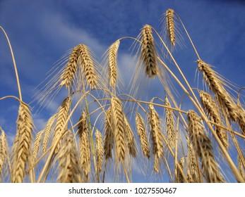 Ripe barley ready for harvest