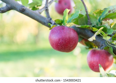Ripe beauty. Ripe apples dangle on tree. Red apples on branch. Ripe season for fruits. Harvest time. Ready to eat. Mellow and ripe.