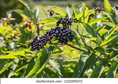 Ripe berries of elderberry, Sambucus ebulus, danewort