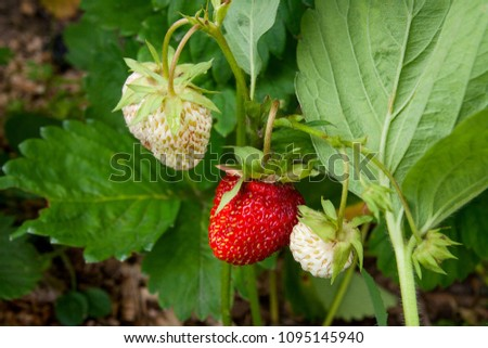 Ripe berries and foliage strawberry. Fresh strawberries that are grown organic farm. Strawberries on a strawberry plant on a strawberry plantation.