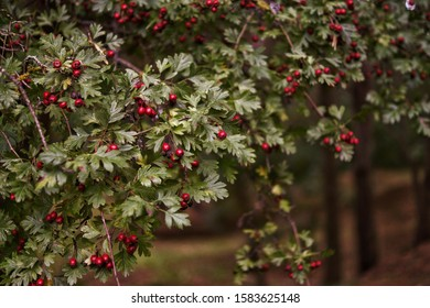 Ripe berries of hawthorn in the background of a flowering park (Minsk)