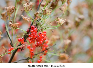 The ripe berries (Ribes rubrum) of red currant are on a bush with faded leaves on blurred background. It is concept of a onset of autumn. The cultural plant is struck by an agricultural parasite.
