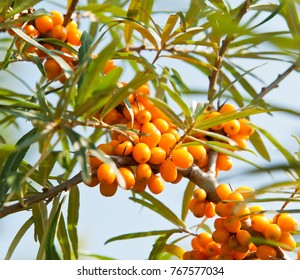 ripe berries of sea buckthorn on branch against blue sky, close up