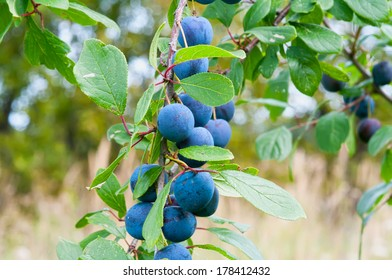 Ripe berries of a sloe on branches.