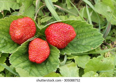 The ripe berries of strawberry lying on a grass in a garden