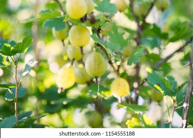 The ripe berries of white gooseberries hang on a branch in the garden.