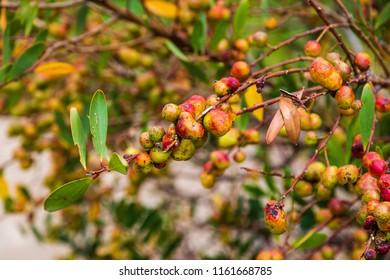 Ripe berries in Wilsons Promontory