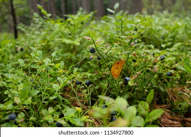 Ripe bilberry and leaves. Bilberry fruit. bearing edible, nearly black berries. blueberries in the woods. Fresh wild ripe blueberries (bilberry) in the forest. Pick blueberries (bilberry)
