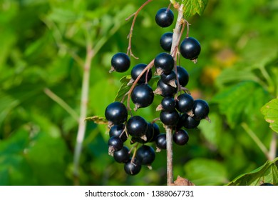 Ripe black berry currant grows on the branches of a Bush with green leaves, summer landscape