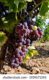 Ripe black or blue carignan wine grapes using for making rose or red wine ready to harvest on vineyards in Cotes  de Provence, region Provence, south of France close up