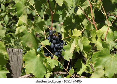 ripe black grapes on a grapevine, vineyard
