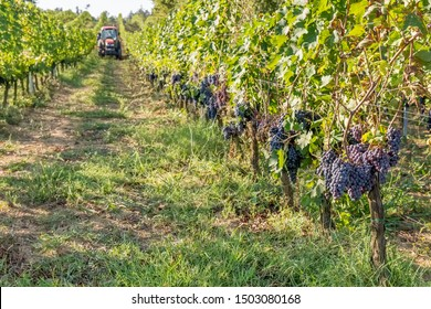 Ripe black grapes that are about to be harvested during the harvest in the Chianti area, Tuscany, Italy