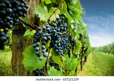 Ripe black grapes in vineyard. Shallow depth of field. Focus on front.
