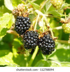 ripe blackberry on a branch in a garden