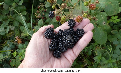 Ripe blackberrys (Rubus sectio Rubus).  Hanover district, July 20, 2018