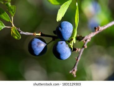 Ripe blackthorn (Prunus spinosa) berries in the forest