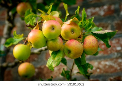 Ripe Blenheim Orange apples, growing on tree.