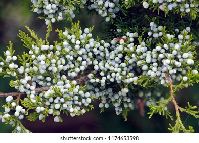 The ripe blue berries of an Eastern Red Cedar tree (Juniperus virginiana).