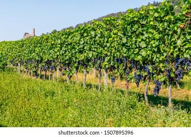 Ripe blue grapes in german vineyard. Vineyard Landscape at Schriesheim wine region in Baden-Wuerttemberg, Germany. Strahlenburg Castle Ruin at  Badische Weinstrasse ( Baden Wine Road )