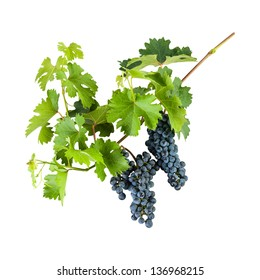 Ripe blue grapes on branch with leaves isolated on white background
